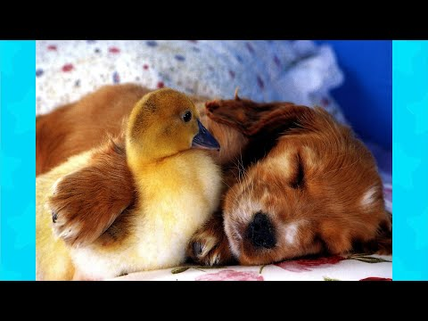 Funny Moments: Dogs And Ducks Have A Funny Friendship ★ Funny Dogs Video