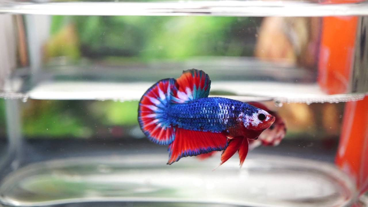 Images of Giant Plakat Betta Fish - #rock-cafe