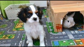 Puppy Meets Bunnies For the First Time - Dwarf Bunny & Cavalier King Charles Spaniel