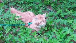 Первый выгул котов на шлейке на даче