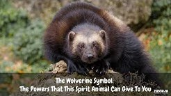 The Wolverine Symbol: The Powers That This Spirit Animal Can Give To You