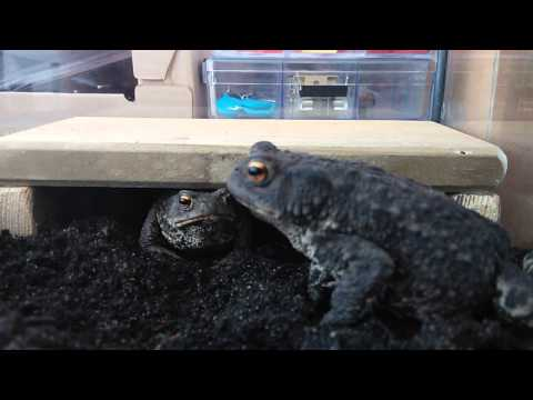 Feeding my toads mealworms