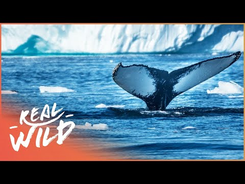 Sub-Zero Whale Hunting (Wildlife Documentary) | Hunting The Ice Whales | Real Wild