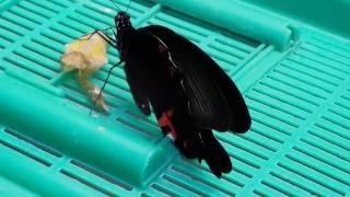 9月下旬 大実レモンに産卵してから、見守ってきたクロアゲハ蝶が、今朝...
