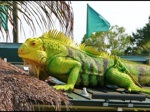 21++ Foto hewan iguana terbesar di dunia terupdate