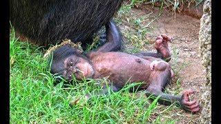 El bebé chimpancé recién nacido en BIOPARC Valencia se llamará COCO