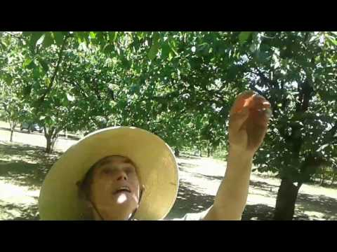 A guide to picking cherries sustainably - Spur of the Moment video