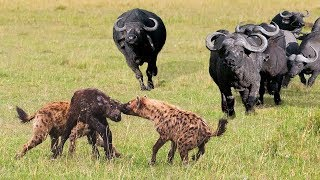 ANIMALS HUNTING FAIL | Buffalo Save Baby Buffalo From Hyena Hunt
