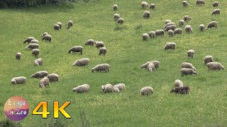 Sheep grazing in a field # Bleating sheep, sound of bells, birds singing # 4K video