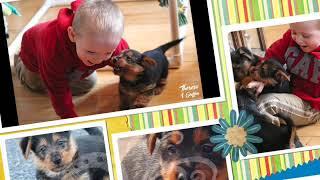 Dunham Lake Australian Terrier Puppies (Ferris Bueller's Day Off Themed litter)