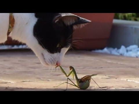 猫パンチはカマキリ拳に勝てるのか! – Kung Fu Cat attack Mantis Boxing –