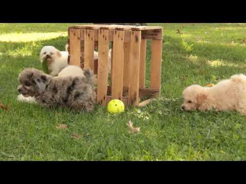 Mini Poodle Puppies For Sale Ivan Stoltzfus