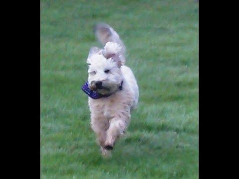 Wheaten Terrier Angel Alfie meandering.