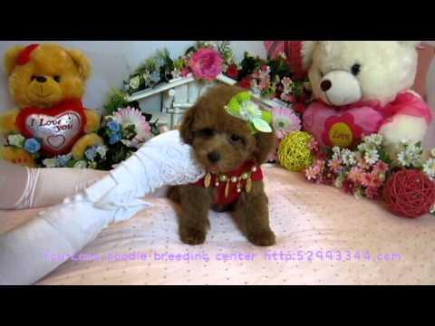 Toy teacup Poodle Puppy #098 - Teacup Poodle,Toy Poodles,Pocket Teacup poodle,Puppies For Sale