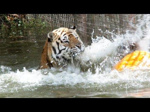 Tiger FUN!!