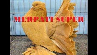 Merpati Kipas Super kawin Sama Ayam Kate