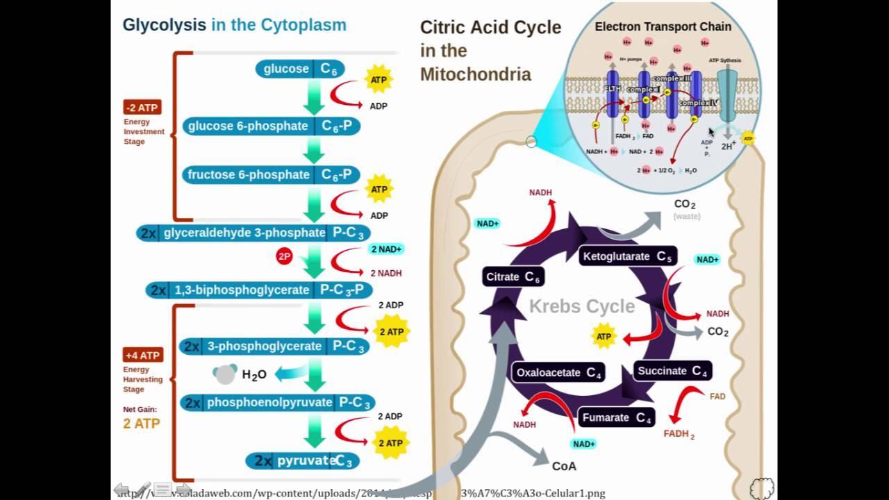 Autran Jr Bioquímica Aplicada - Metabolismo Aeróbio - YouTube
