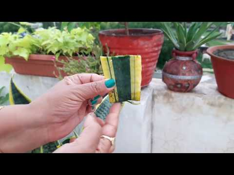 How To Propagate Snake Plant / Sansevieria || Fun Gardening