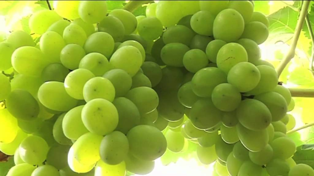 Consorzio uva da tavola di grottaglie youtube - Uva da tavola di mazzarrone ...