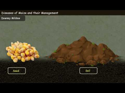 Diseases of Maize and their Management [Year-3]