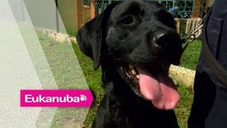 The Labrador Who Can Sniff-out Pirate Dvds - Part 1 | Extraordinary Dogs