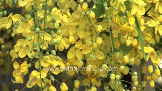 Burst of Golden Shower or amaltash blossoms in the Delhi heat!