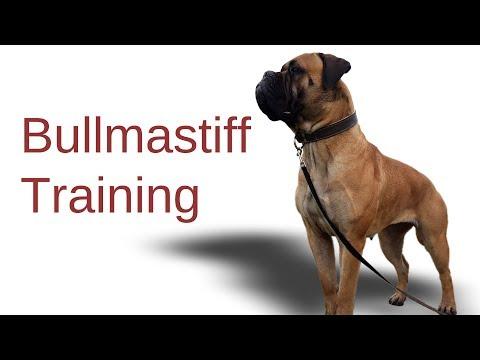 Bullmastiff Training | dog training