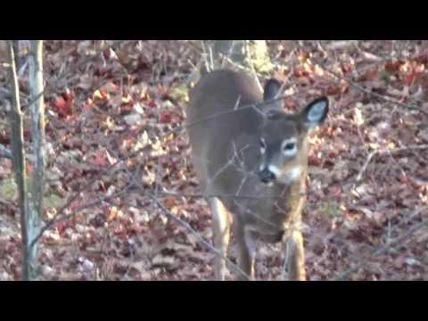 2016 massachusetts deer hunting video