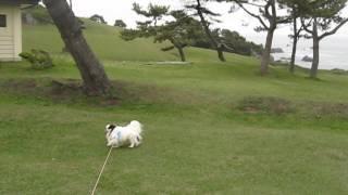 狆の 海岸散歩.