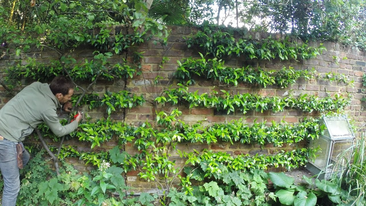 Tying A Trachelospermum Espalier To A Wired Wall Youtube