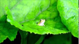 蟻をペロリと食べる雨蛙.