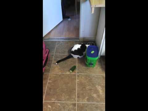 Cucumber vs kitty cat prank