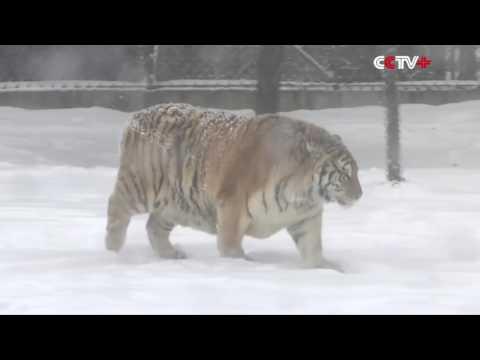 Охота на дрон.  Амурские тигры устроили охоту на дрон.