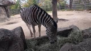 【ASMR】シマウマさん草を食べる咀嚼音(王子動物園) [ASMR] Ms. Z...