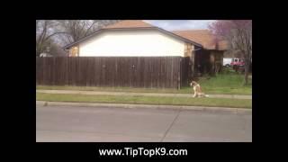 Kloey Saint Bernard Dog Training Tulsa