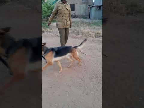 Dog trynar vikram singh motish cazri jodhpur