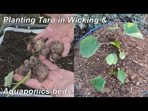 Planting Out Taro In Wicking Garden & Aquaponics Beds.
