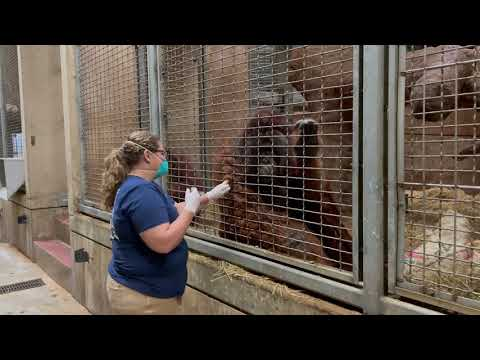 The National Zoo Started Administering COVID Shots To Animals This Week