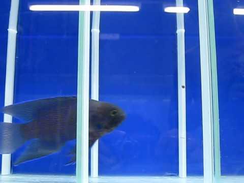 Western Blue Devil (paraplesiops Meleagris) - Reborn Aquarium