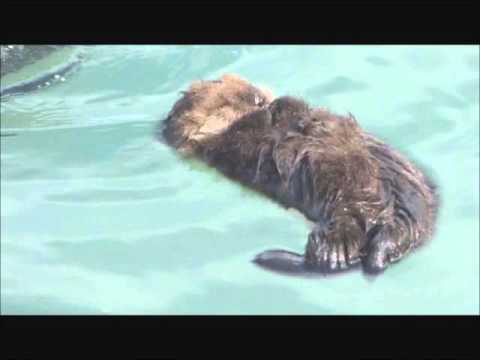 Rosie the Sea Otter & Her Pup  March 7, 2016