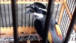 Burung Cendet Kembang Endemik Indonesia