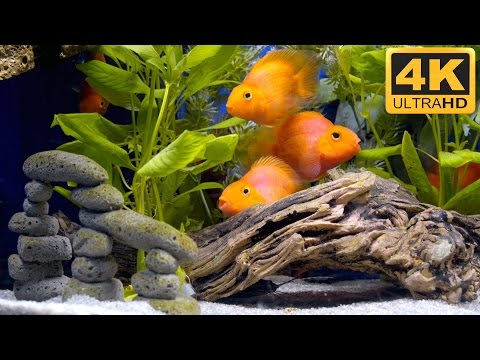Mini Parrot Fish like Big Goldfish in 4K Ultra HD