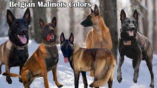 Belgian Malinois Colors And Patterns | Types Of Belgian Malinois