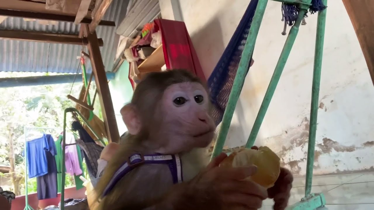 Monkey Baby Shin Can Go Back To his hometown to play | Pets Tutorial
