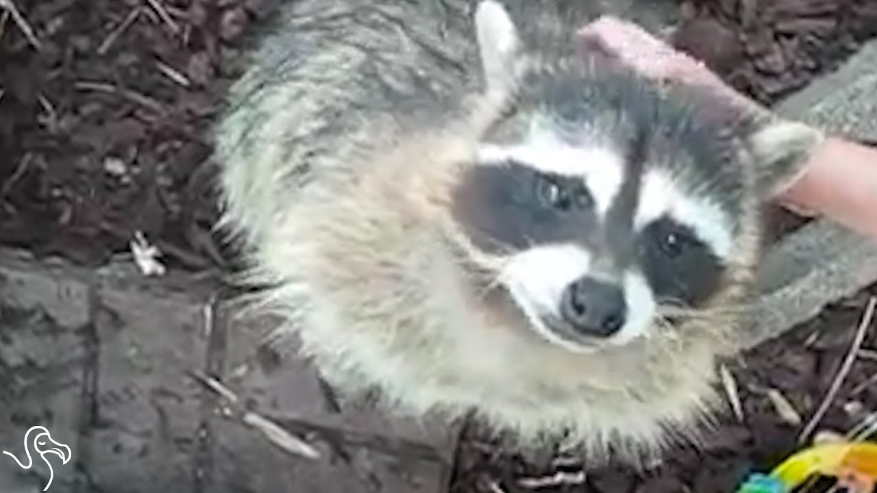 Happy Rescued Raccoon Is Proof Raccoons Shouldn't Be Pets