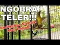 Kolibri Kelapa Gacor Ngobra Teler Wiceh Gacor  Mp3 - Mp4 Download
