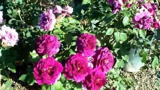 видео Роза Ebb Tide