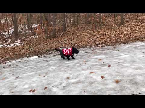 DOG VS ICY HILL.  Too Funny! ANGUS the Naked Scottish Terrier
