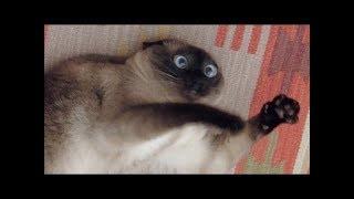最高におもしろ猫のハプニング失敗動画超かわいい ハスキー犬の ハプニ...