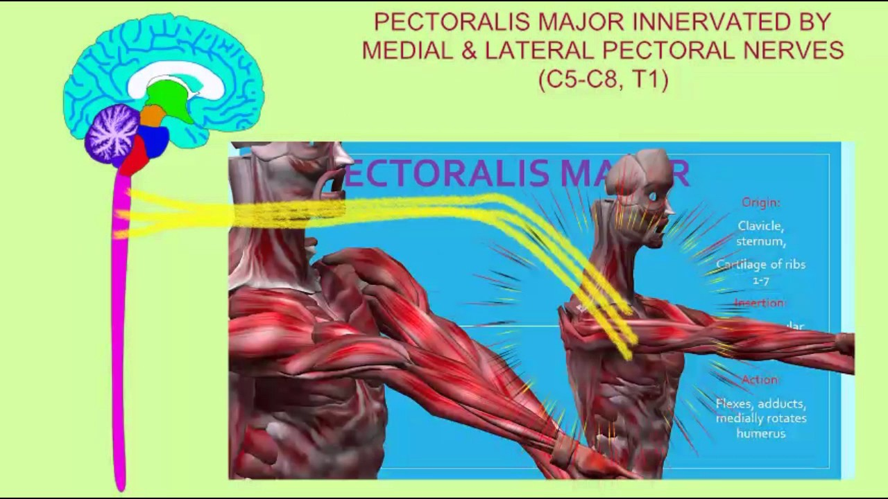INNERVATION OF NECK & TRUNK MUSCLES - YouTube
